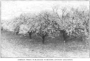 Damson trees in blossom in Messrs Chivers' Orchards