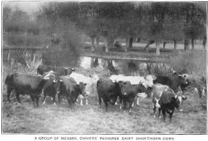 A group of Messrs Chivers' pedigree dairy shorthorn cows