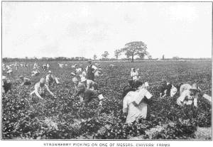 Strawberry picking on one of Messrs Chivers' Farms